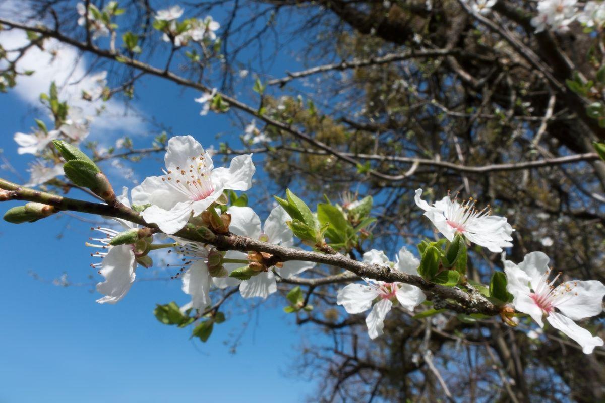 Las flores del ciruelo son blancas