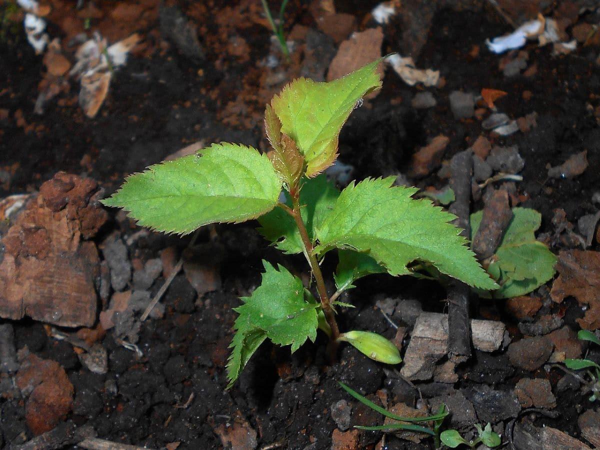 El ciruelo se multiplica por semillas