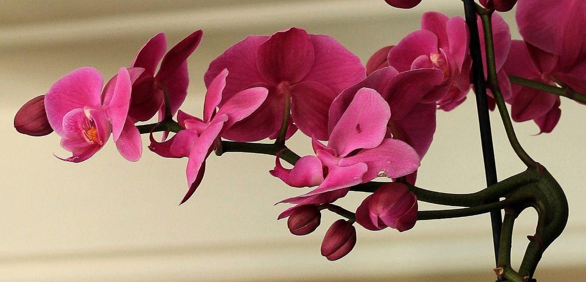 ¿Cómo saber si una orquídea está muerta?