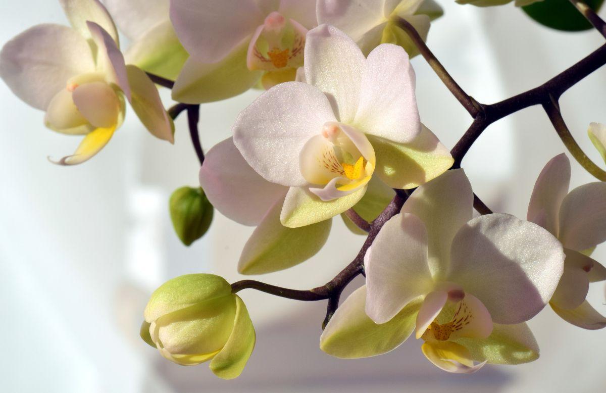 ¿Qué hacer cuando se mueren las flores de la orquídea?