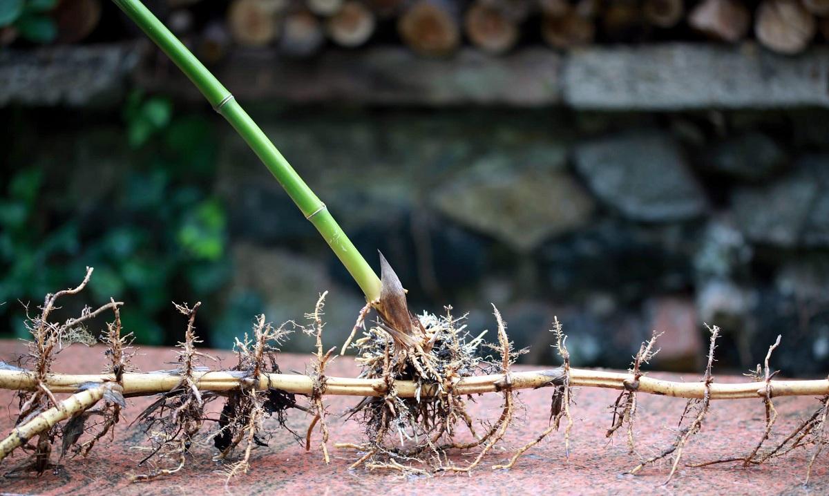 como se reproducen las plantas con rizomas