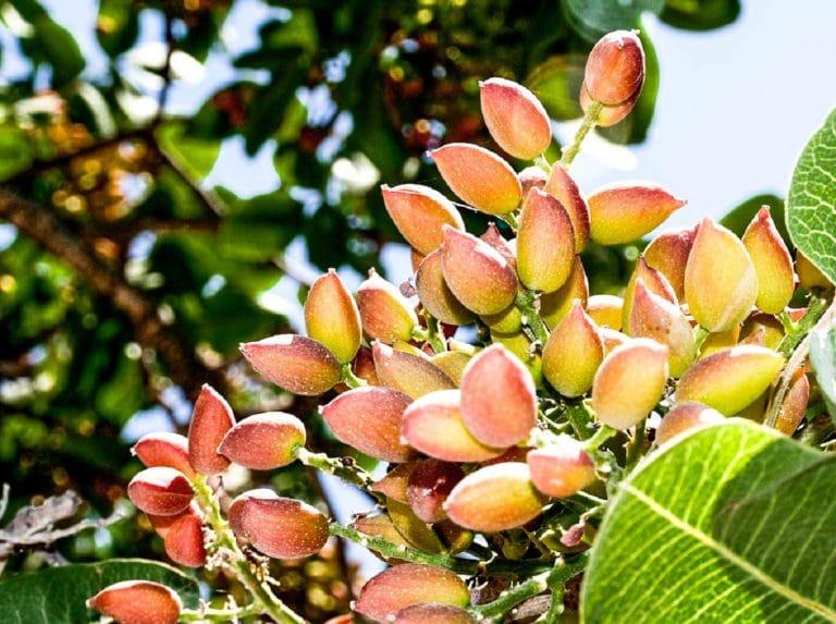 cultivo del pistacho