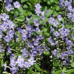 Las flores de la duranta son primaverales