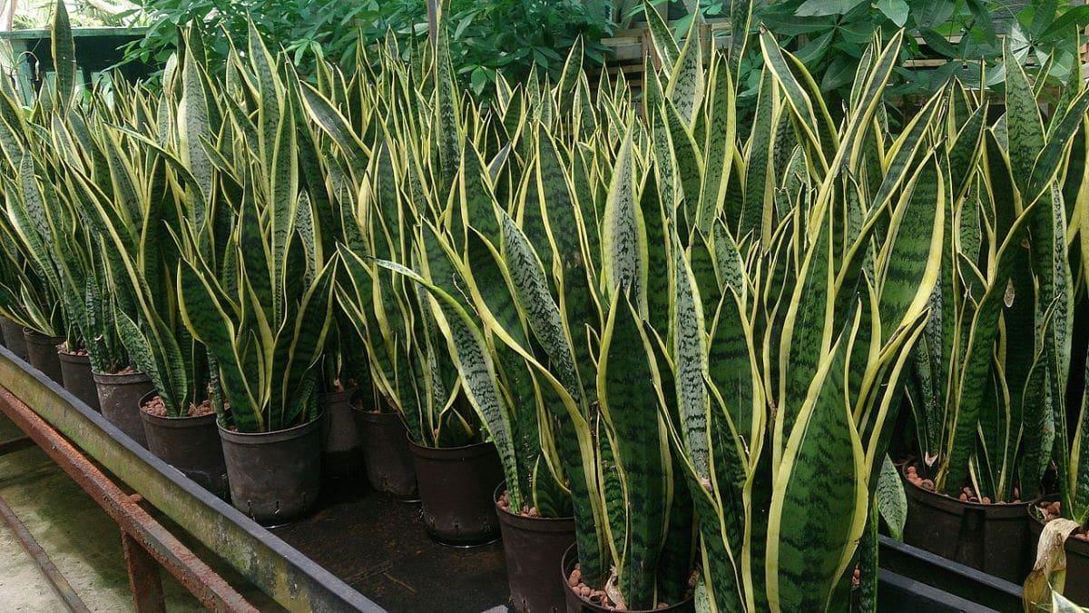 La espada de san Jorge es una planta que vive con poca luz