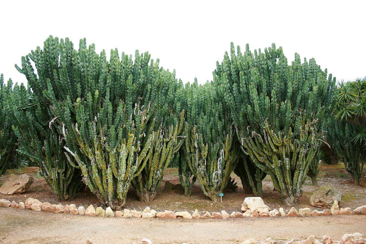 La Euphorbia candelabrum es un árbol suculento