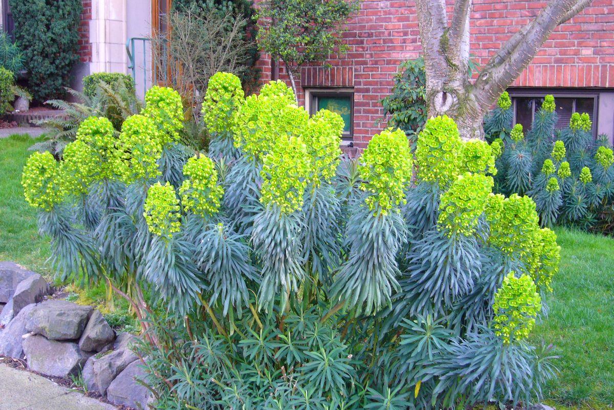 La Euphorbia characias es un arbusto pequeño