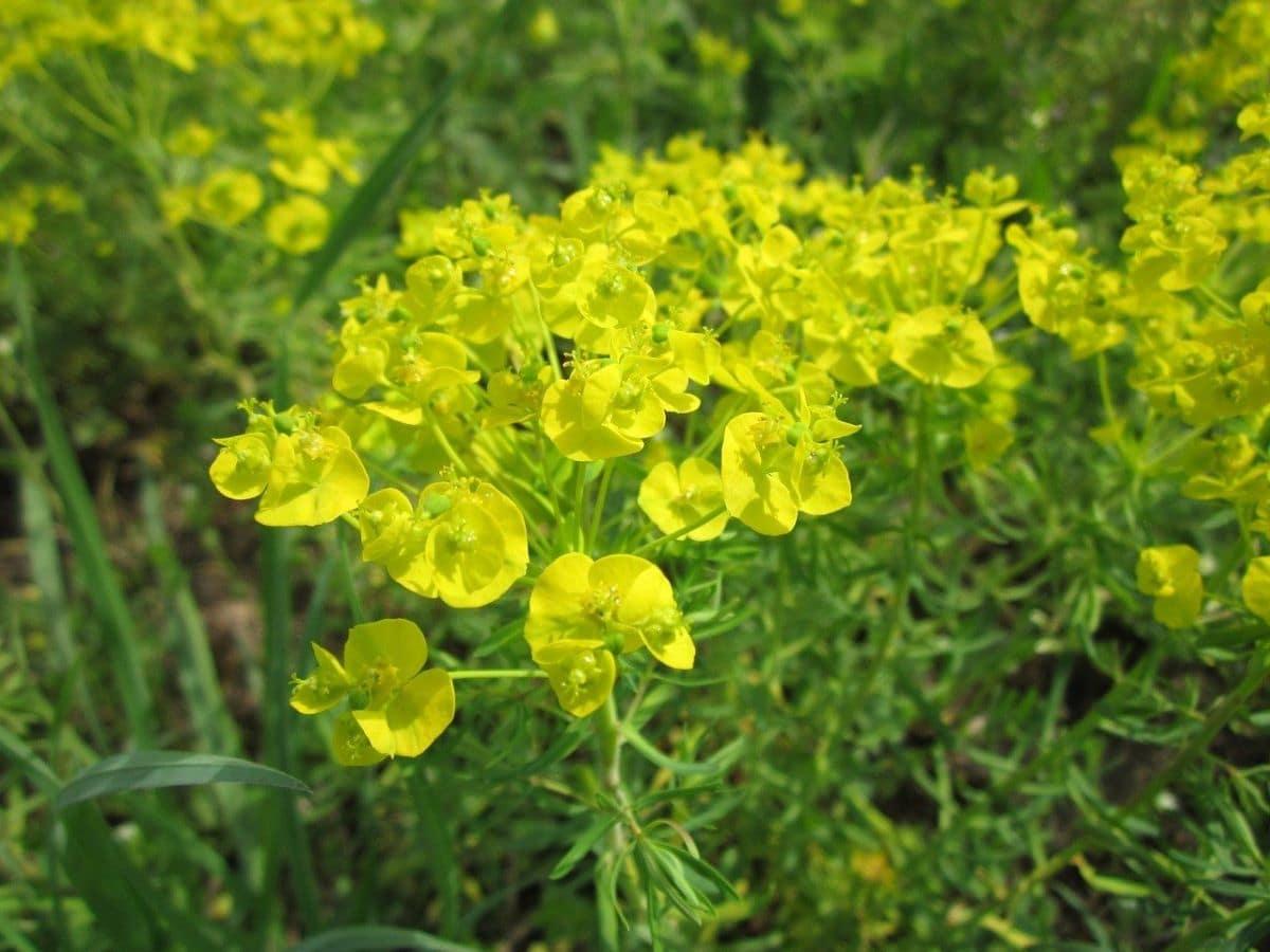 La Euphorbia cyparissias es una hierba