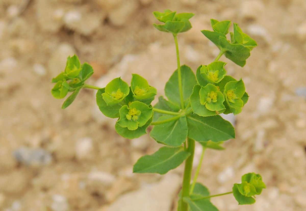 La Euphorbia hirsuta es una planta herbácea