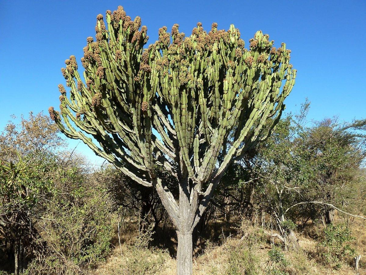 La Euphorbia ingens es un árbol