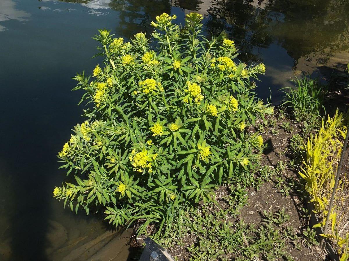 La Euphorbia lathyris es una hierba