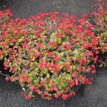 La Euphorbia milii es un arbusto espinoso