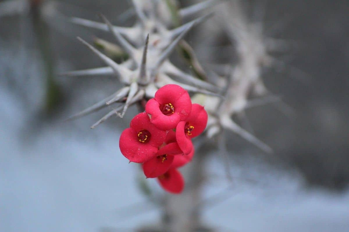 La Euphorbia milii es una planta suculenta