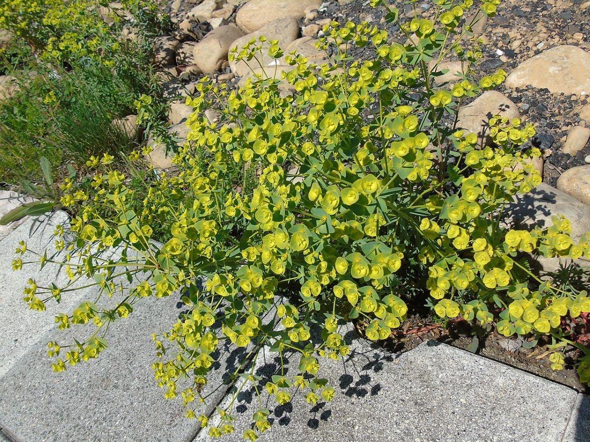 La Euphorbia segetalis es una hierba pequeña