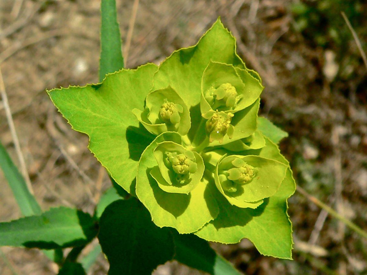 La Euphorbia serrata es una hierba de flores pequeñas