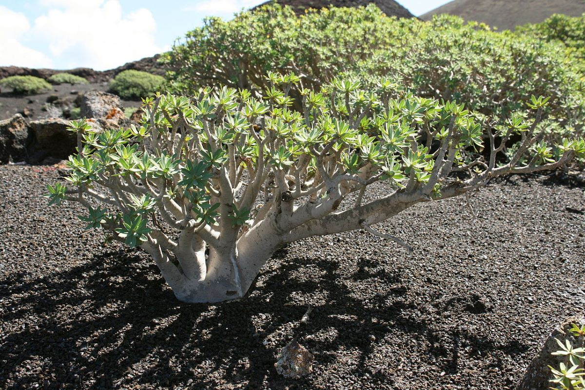 La Euphorbia regis-jubae es un arbusto canario