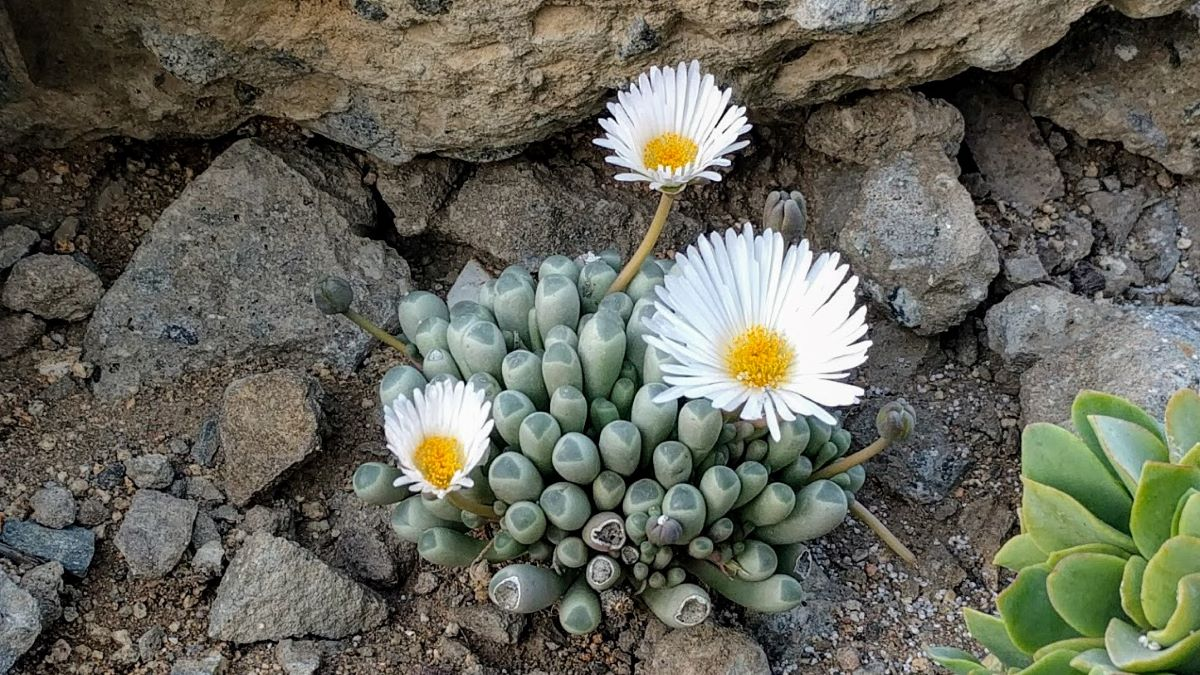 La Fenestraria rhopalophylla es una suculenta pequeña