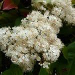 Las flores de la fotinia son numerosas