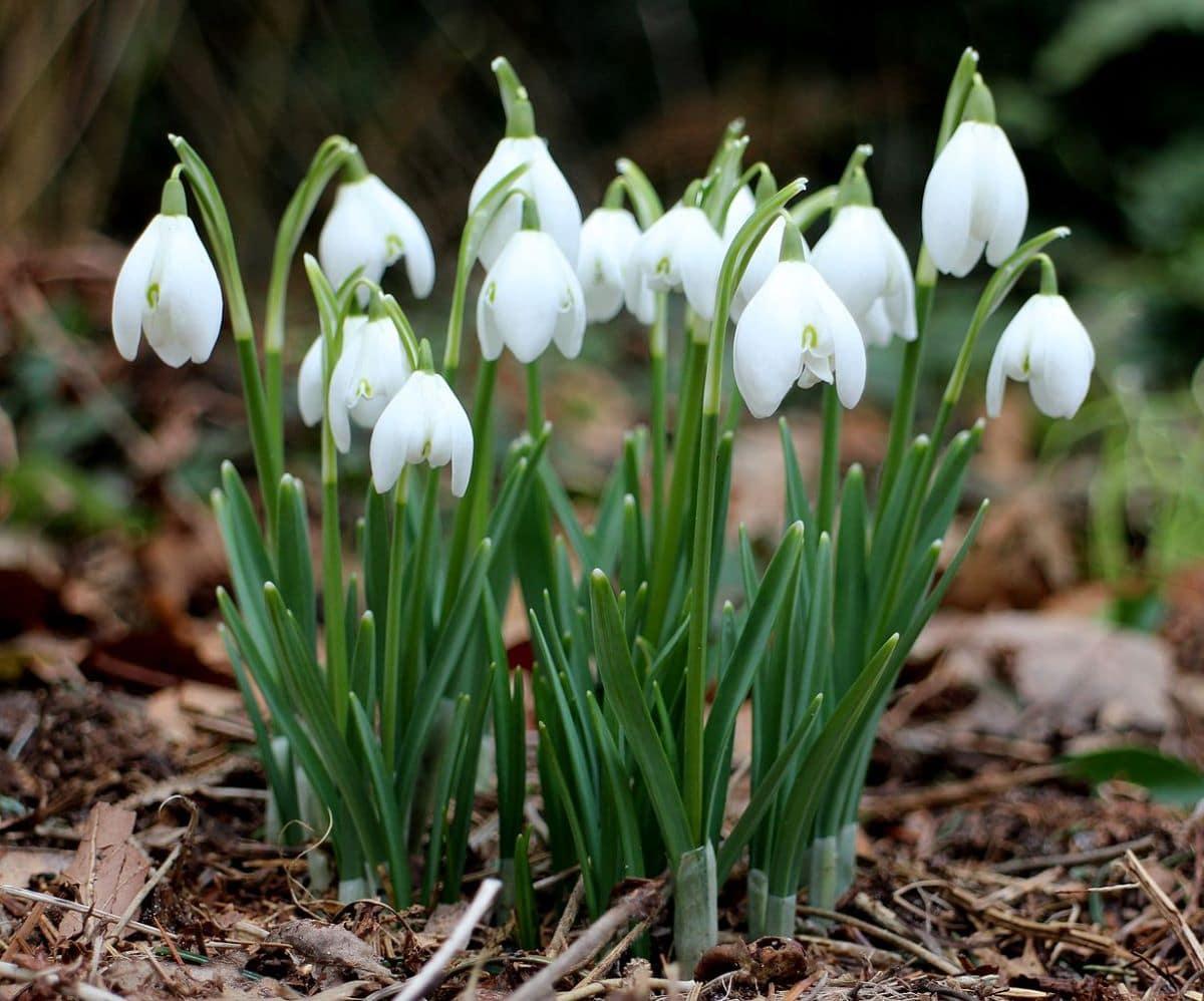La campanilla de invierno es una bulbosa de flores blancas
