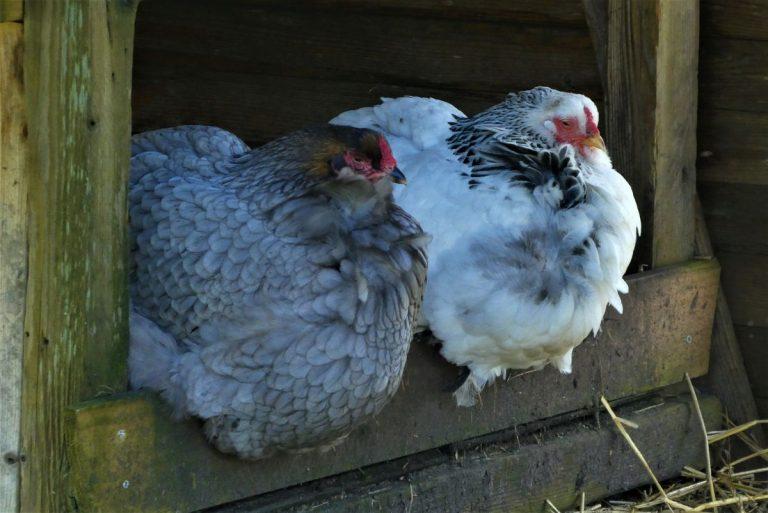 cómo hacer un gallinero casero grande