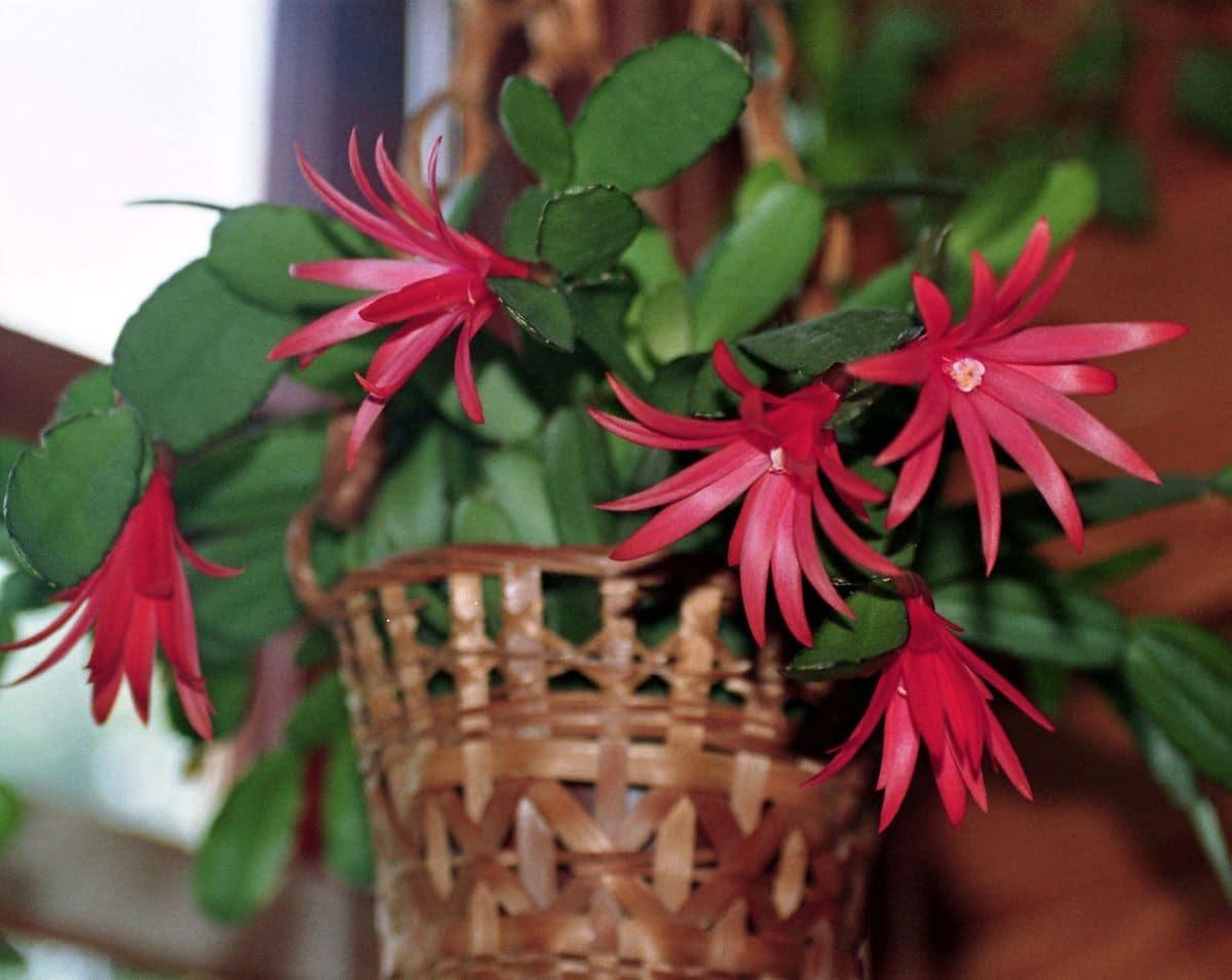 La Hatiora gaertneri es un cactus sin espinas