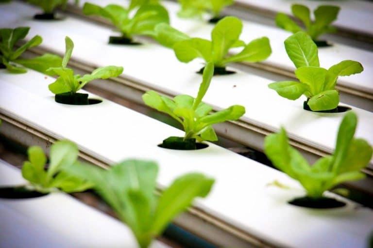 Es posible cultivar lechugas en hidroponía