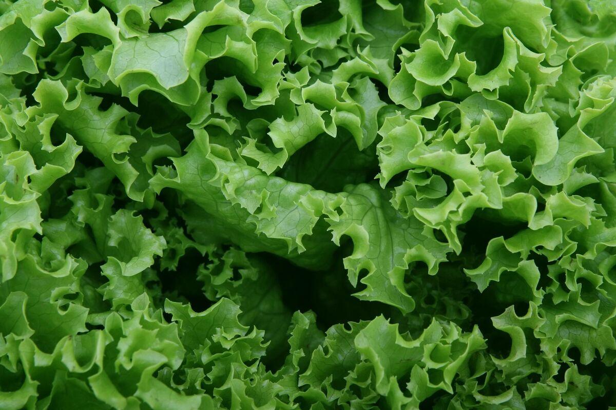 La lechuga es una verdura de corta vida