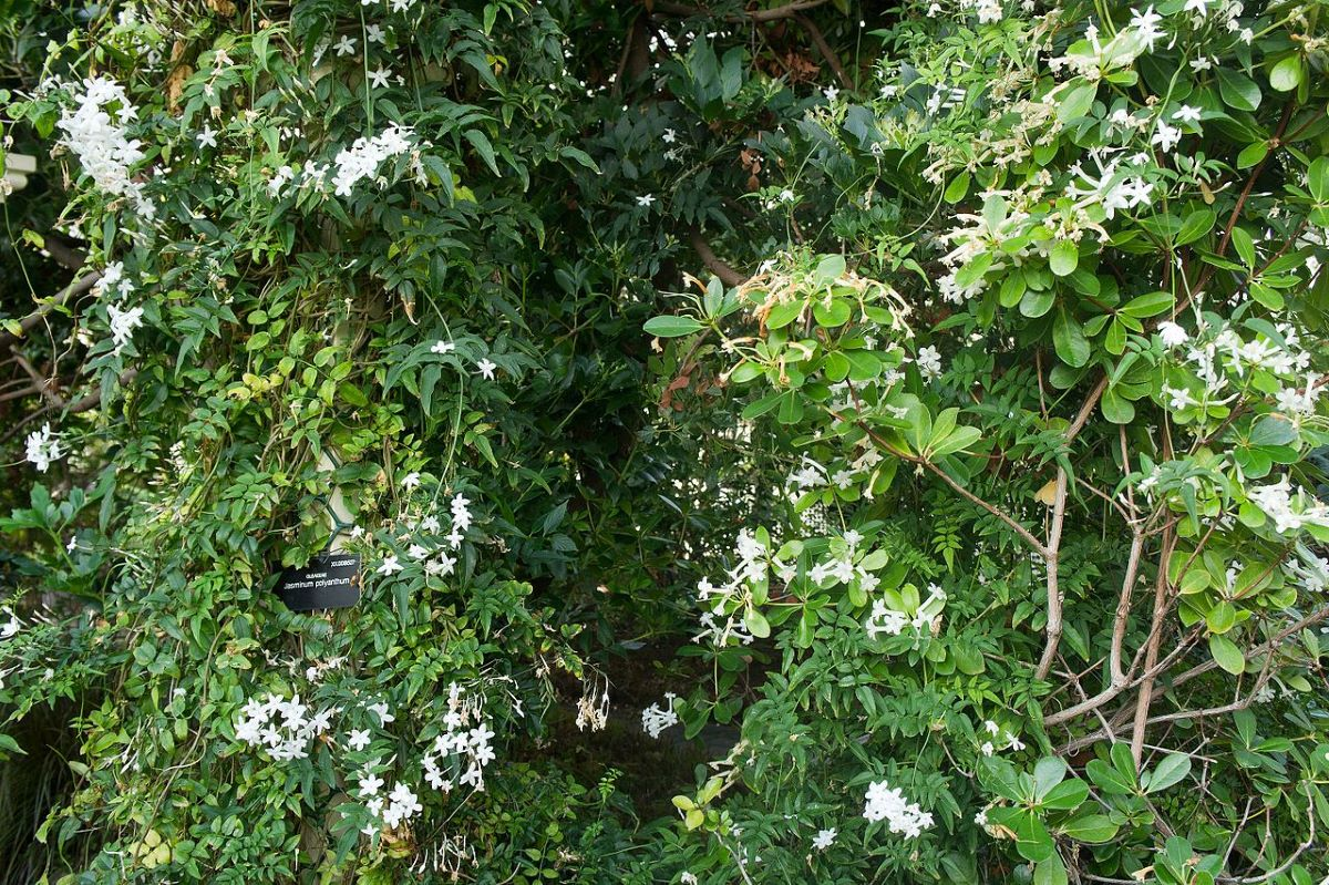 El jazmín es una trepadora con flores blancas