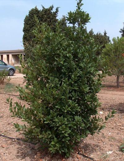 El laurel es una planta mediterránea
