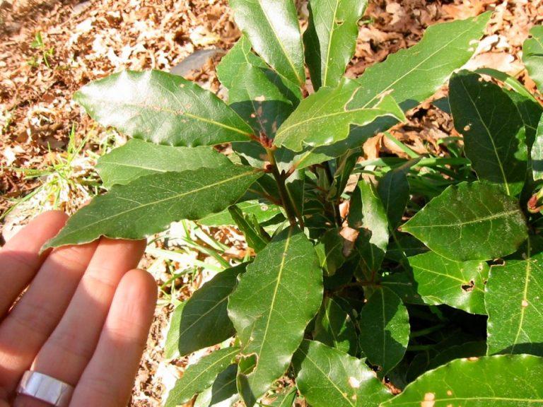 El laurel es un árbol de hoja perenne