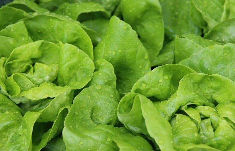 La lechuga es una verdura nutritiva
