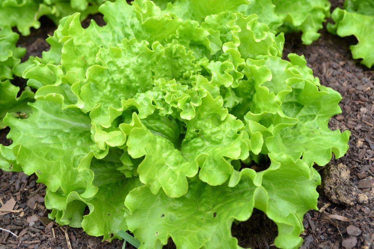 La lechuga es una planta herbácea