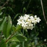 El aligustre es un arbusto de flores blancas