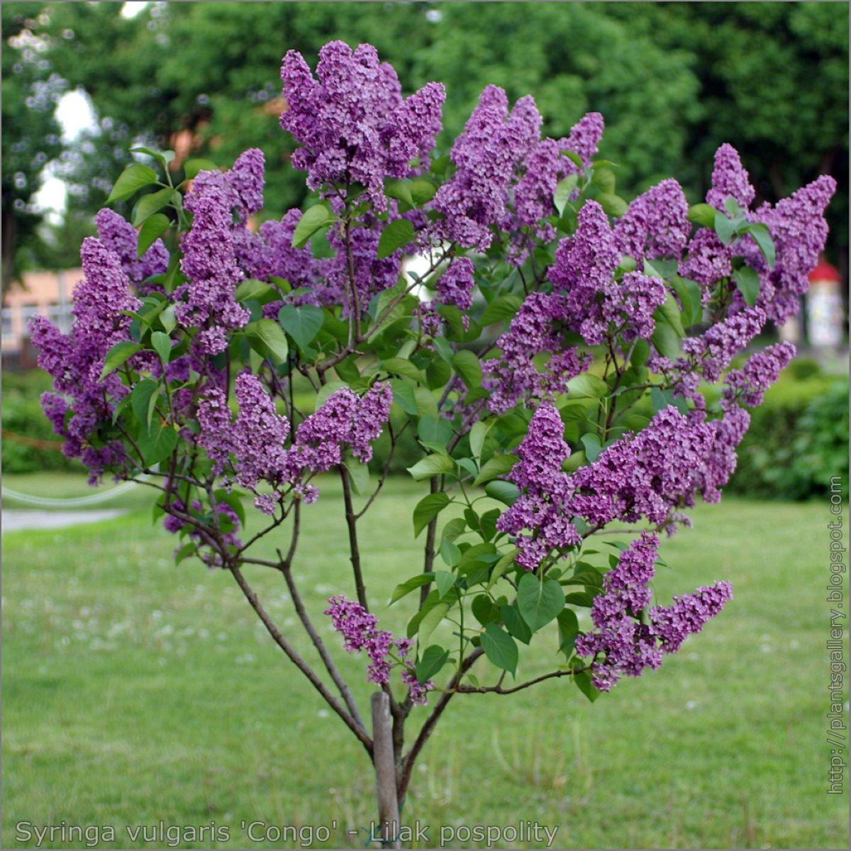 El lilo es un árbol pequeño que florece en primavera
