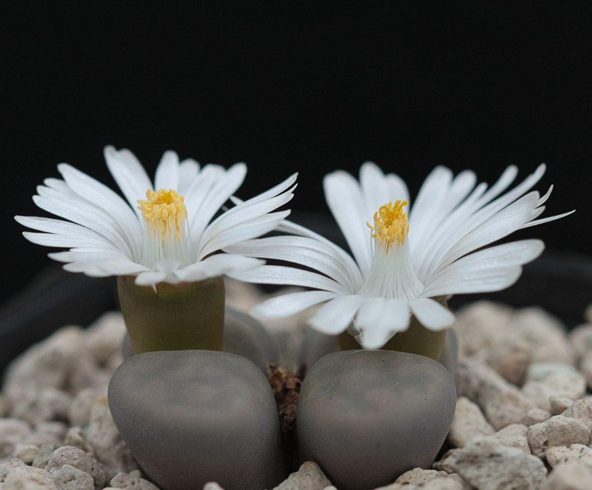 El lithops es una suculenta que produce flores pequeñas de color blanco