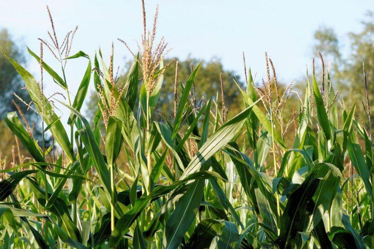 El maíz es una planta C4