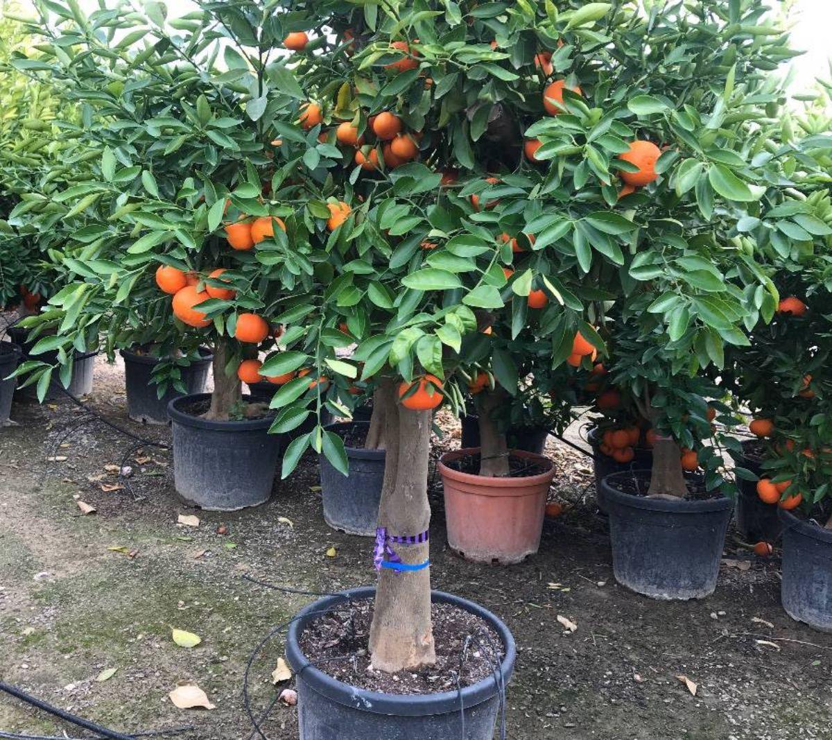 ¿Qué enfermedades y plagas pueden afectar al mandarino?