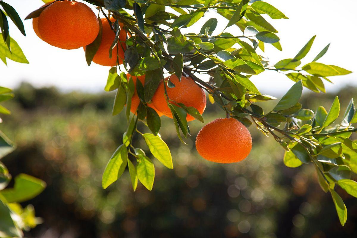 Cuidados del mandarino en maceta