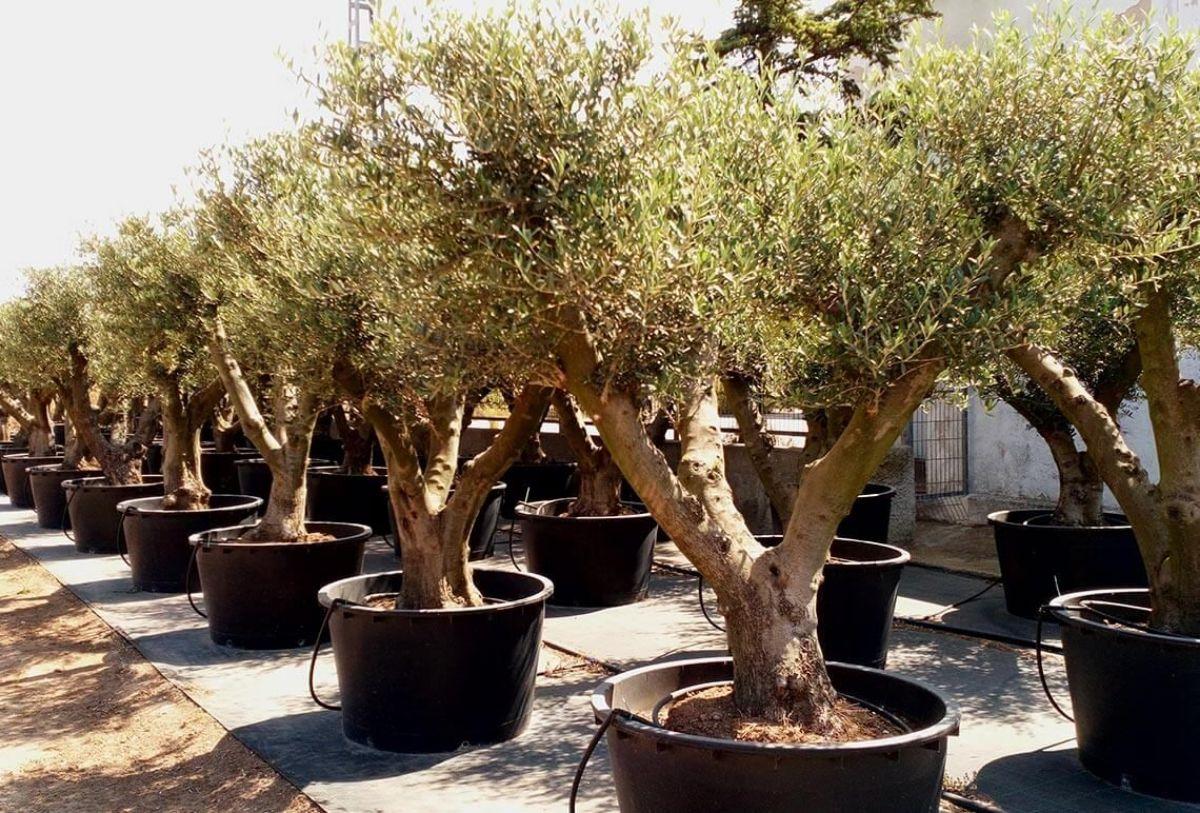 Cómo podar un olivo en maceta