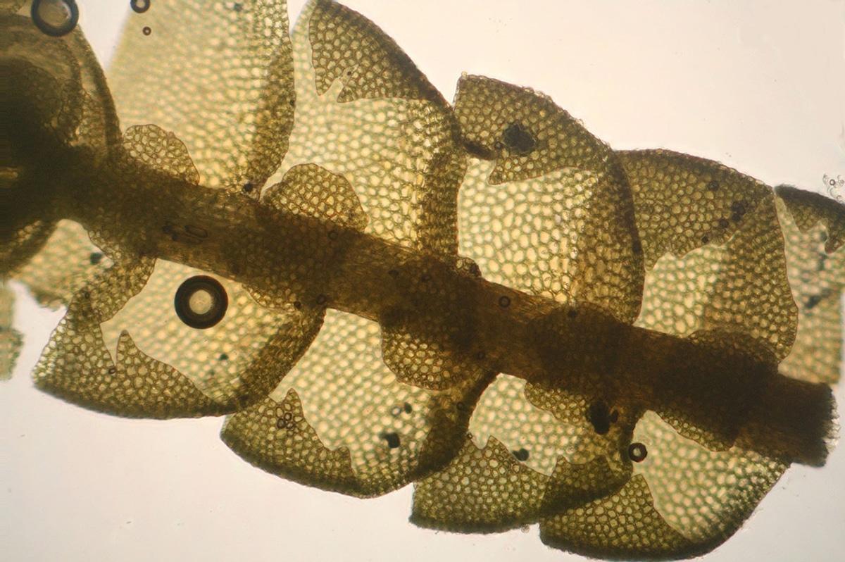 La pared celular vegetal está compuesta por una pared primaria, otra secundaria y la laminilla media