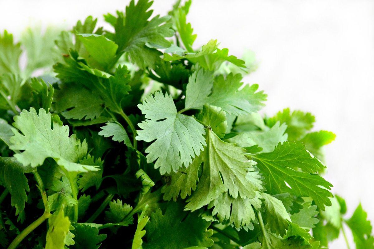 Plantas aromáticas de interior: Perejil