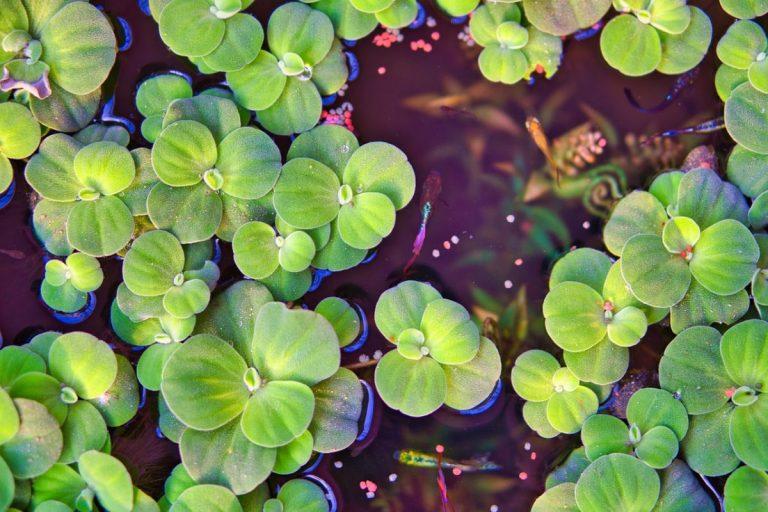 plantas flotantes de acuarios