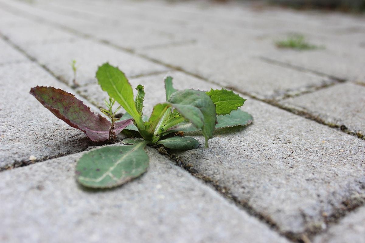 La ruderales son plantas capaces de crecer en lugar con la biomasa destruida