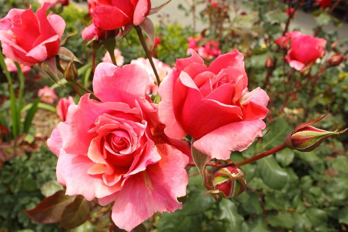La Rosa Duet es un cultivar