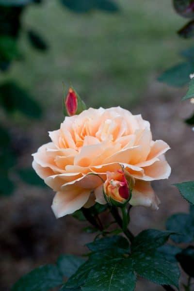 Los rosales se cultivan en macetas o en el suelo