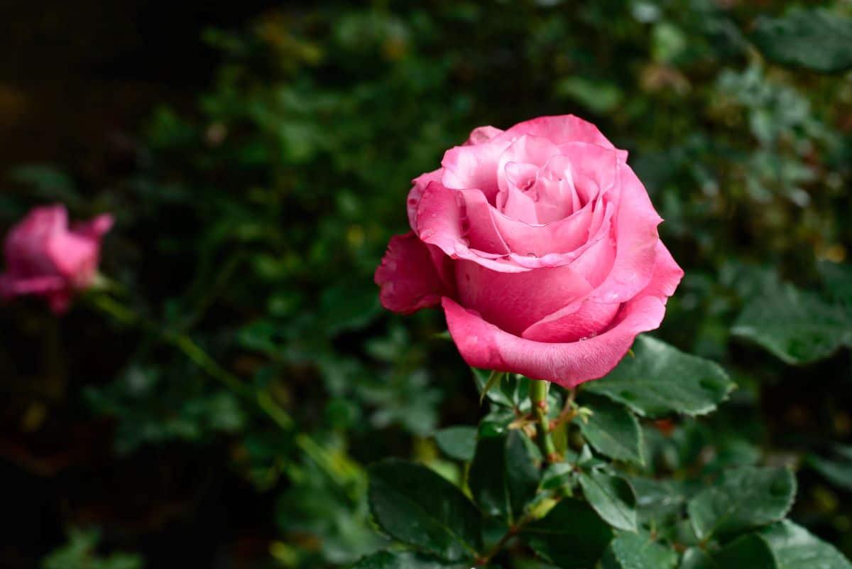 Las rosas son arbustos de flores bonitas