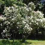 El lilo es un árbol para hacer sombra