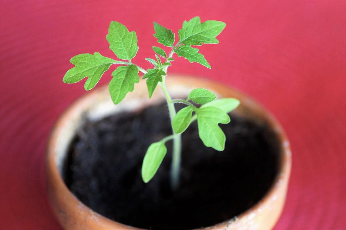 Para plantar tomates en maceta, el tipo de maceta es importante