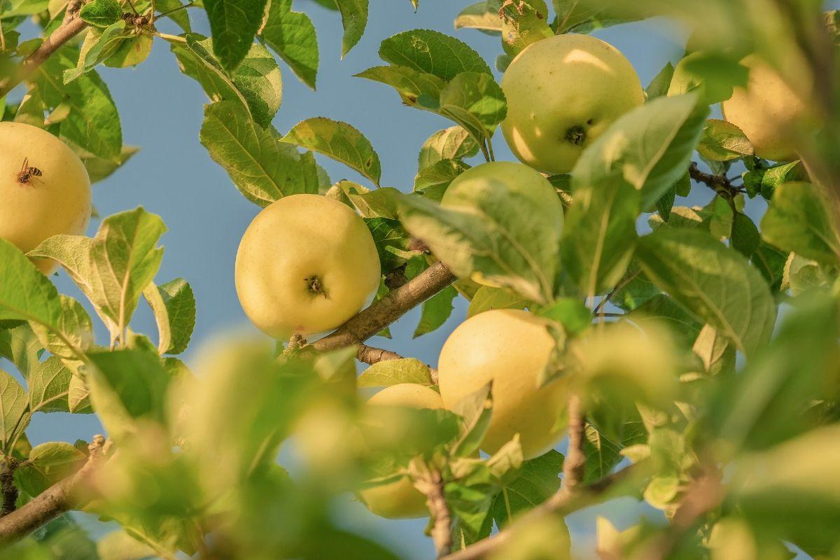 Variedades de manzanas antiguas