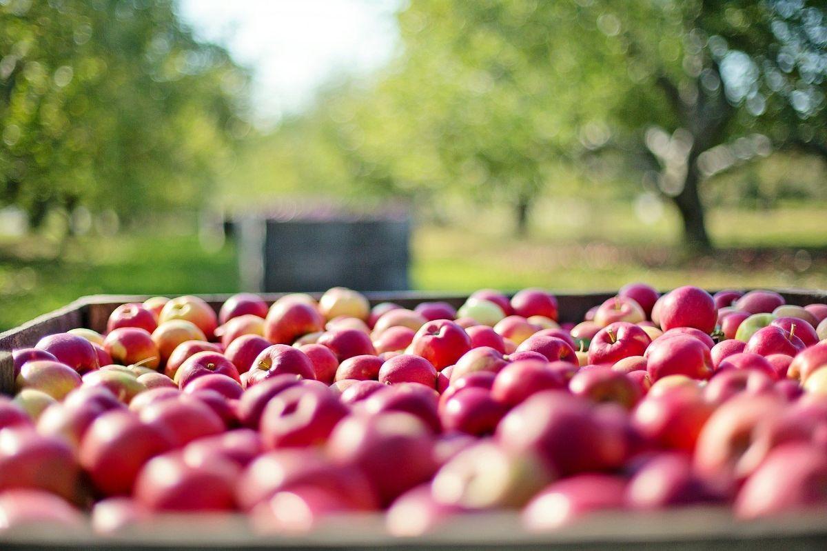 Variedades de manzanas tempranas