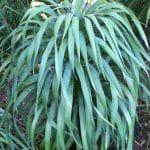 La Yucca desmetiana es una planta xerofila
